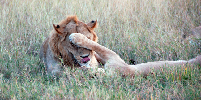 Lion_blog2