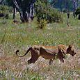 Lioness3