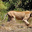 Lioness4