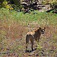 Lioness6