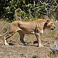 Lioness5
