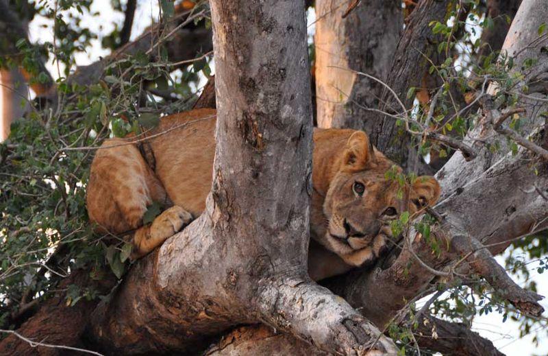 Lion_blog