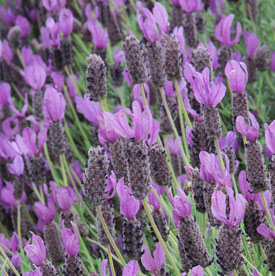 Lavandula-stoechas-Wings-of-Night