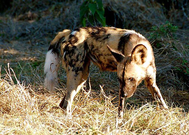 Wilddog - 11